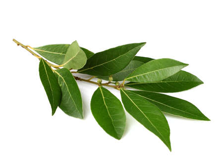 bay: Branch of laurel on a white background Stock Photo
