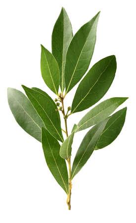 Leaves of laurel