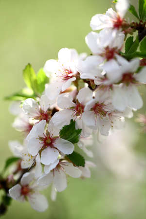 Beauty flowers of apple photo