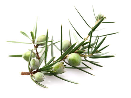 juniper tree: Juniper in closeup