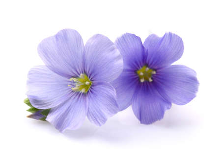 blue flowers: Flax flowers in closeup Stock Photo