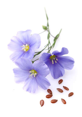 flax seeds: Flax flowers with seeds