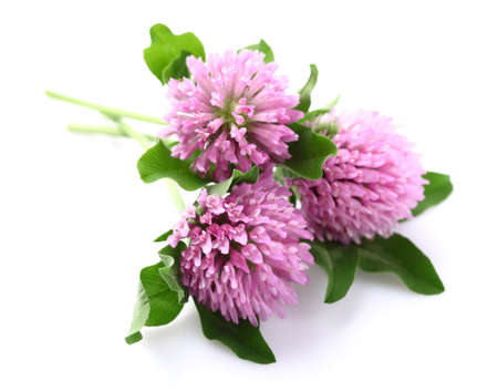 Red clover on a white background photo