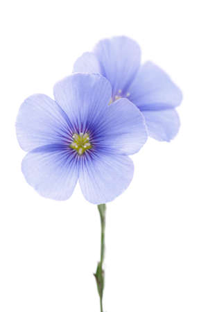 Bloemen van vlas