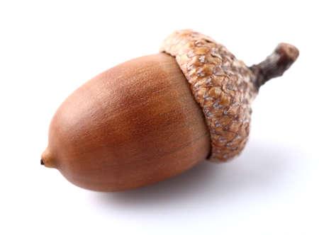 acorn nuts: One dried acorn in closeup