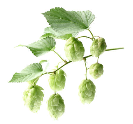 bitterness: Hop with leaves