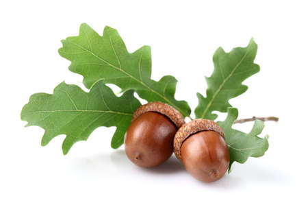 acorn nuts: Dried acorn with leaves