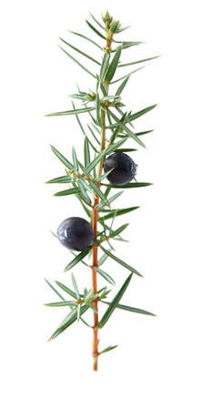 juniper tree: Juniper twig Stock Photo