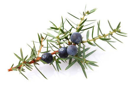 juniper tree: Juniper berry