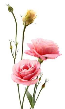 flor violeta: Eustoma flores
