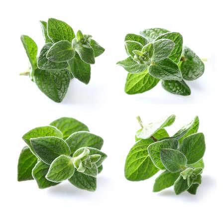 oregano plant: Oregano spice Stock Photo