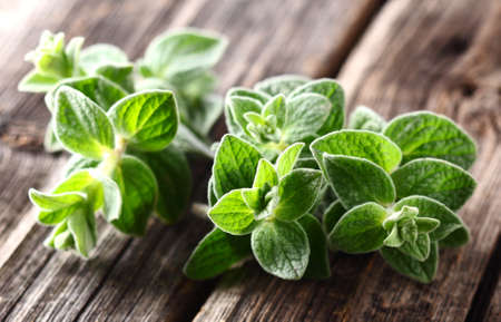 Oregano plants. On a wooden background