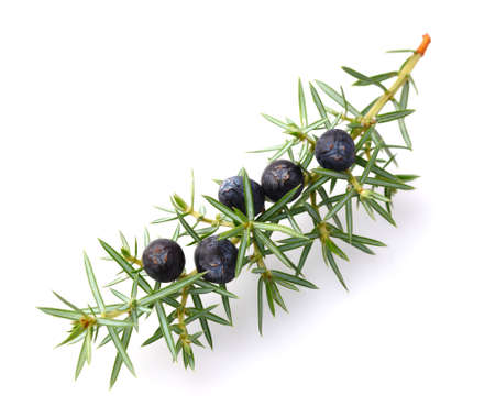 Juniper berries Фото со стока