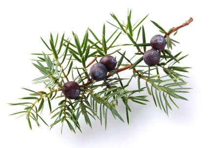 Juniper twig with berry Imagens
