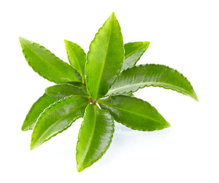 tannin: Leaves of green tea Stock Photo