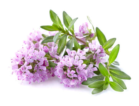 Thyme flowers in closeup Stock Photo
