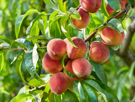 Branch of peach tree Reklamní fotografie