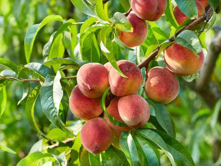 Branch of peach tree Standard-Bild