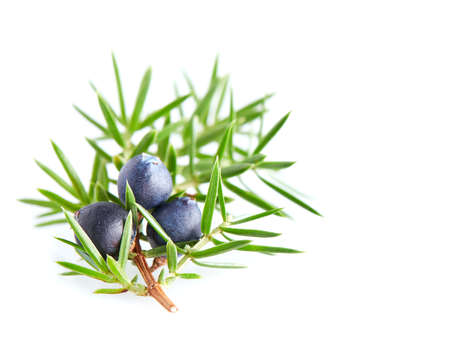 juniper tree: Juniper berry in closeup
