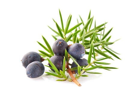 Juniper with leaves oj a white background Banco de Imagens - 73379103