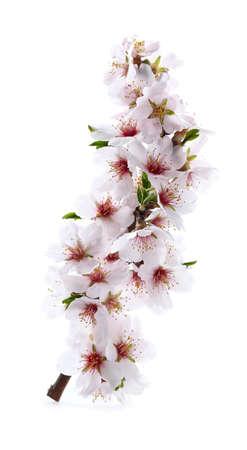 Almond blossoms branch in closeup
