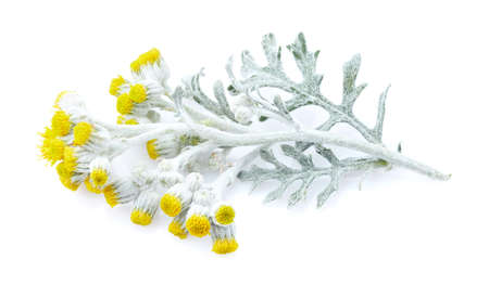 Helichrysum isolated on white background Banco de Imagens