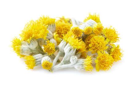 Twigs of helichrysum in closeup Banco de Imagens