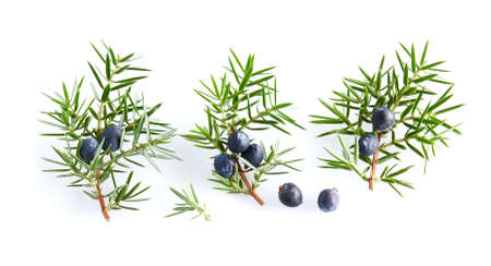 Juniper twigs with berries on white background