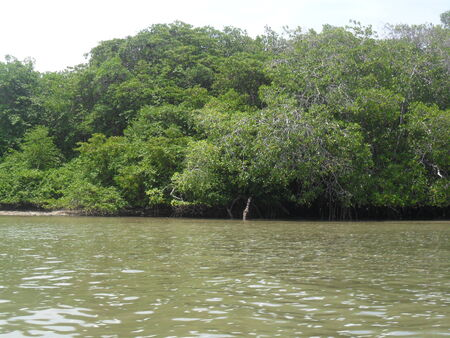 mangrove swamp with many trees away