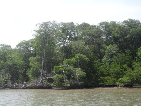 mangrove swamp with many trees