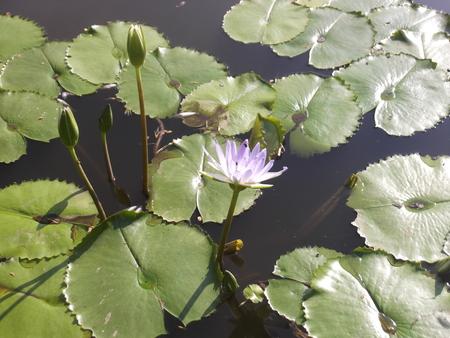 호수 위의 연꽃