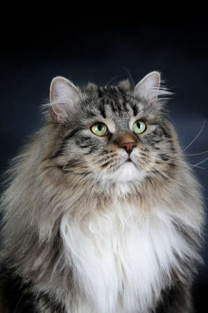 Maine Coon male cat on a black background