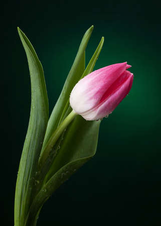 tulip with water drops on dark green background Stock Photo