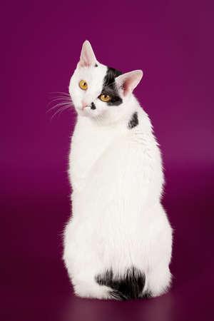 bobtail: Black and white japanese bobtail on purple background  Stock Photo