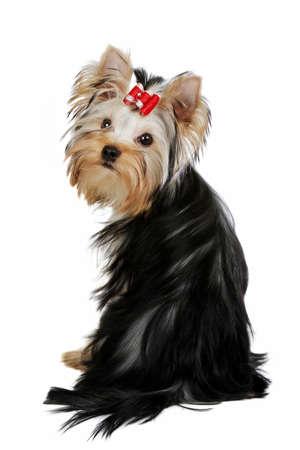 Yorkie puppy on white background Stock Photo