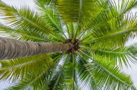 directly below: View from Under the coconut tree Stock Photo