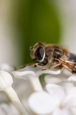 'compound eye': Fly on the White LILACS