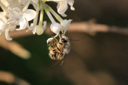 'compound eye': Bee with white flower Stock Photo