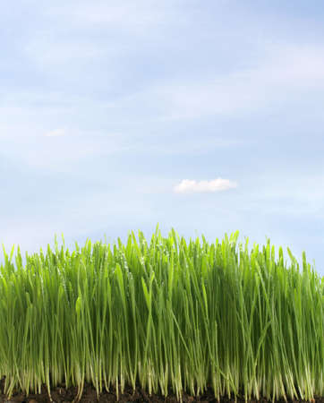 green fresh grass with water drops on blue sky background photo