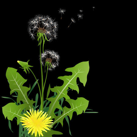 flimsy: dandelions in wind on dark background Stock Photo