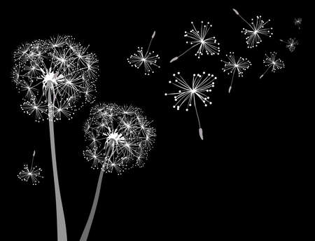dandelions in wind  photo
