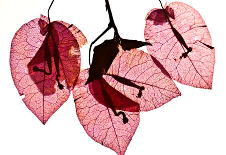 Pink Bougainvillea (Paper flower) isolated photo