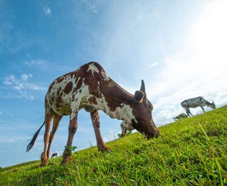Cows grazing on lush grass field photo