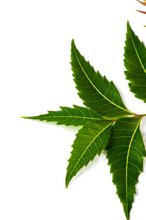 Medicinal neem leaf on white background. Azadirachta indica.