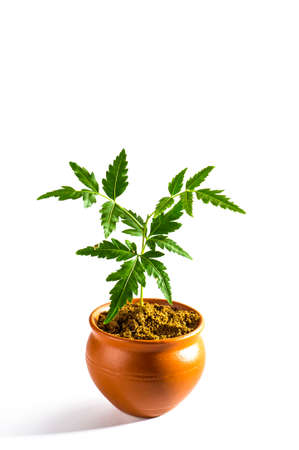 neem: Young Neem tree in clay pot on white background. Azadirachta indica Tree.