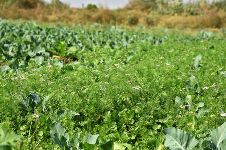 Fresh green coriander in garden or farm field