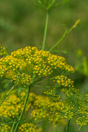 Flower of green dill (Anethum graveolens) grow in agricultural field. Zdjęcie Seryjne