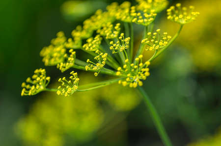 Flower of green dill (Anethum graveolens) grow in agricultural field. Stockfoto