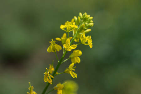 Mustard flowers blooming on plant at farm field with pods. close up.
