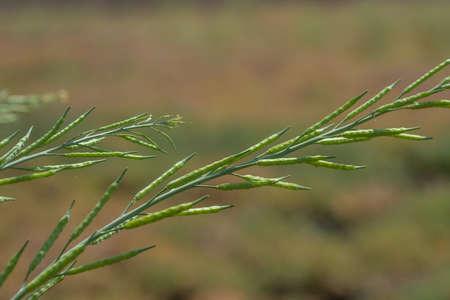 Gousses de moutarde verte poussant au champ agricole. les terres agricoles. Banque d'images